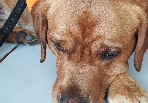 Therapiehund Foxred Labrador Jay-Jay