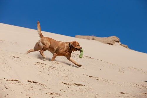 Foxred Labrador Deckrüde Jay-Jay beim Fotoshooting