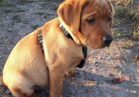 Foxred Labrador Deckrüde Fire